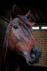 The world's fastest horse ... Black Caviar.