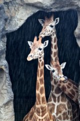 Long faces ... giraffes at Taronga Zoo take shelter during yesterday's downpour. The rain is expected to continue all week.
