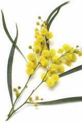 Wattle flowers have huge potential as a national symbol.