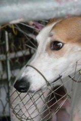 A greyhound prepares to race in Macau.