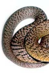 Tragic ... it has been confirmed an Ergon Energy employee died from suffering a taipan bite.