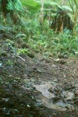 A remote infra-red camera captures sambar deer wreaking havoc in Sherbrooke Forest.