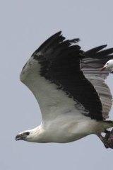A sea eagle.