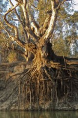 Conservation row ... a red gum on the Murray River.
