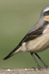 The northern wheatear.