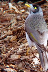 Much maligned: The miner bird.