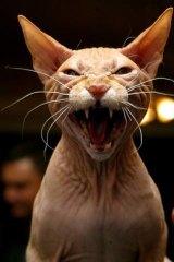 A sphynx: the friendliest of all cats.