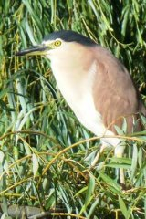 A nankeen night heron waits for sunset.