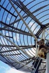 A curious koala climbs on the frame of Doug McArthur's giant satellite dish at Glenburn.
