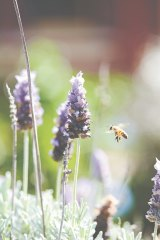 Lavender entices a helpful visitor, in an image from <i>The Bee Friendly Garden</i>, by Doug Purdie.