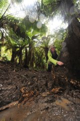 Bill Incoll assesses the damage amid the tree ferns.