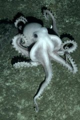 A white octopus discovered on the sea floor of the Southern Ocean.