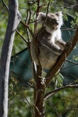 Fears for the future of koala populations in south-east Queensland.