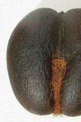 The rare, erotically shaped coco-de-mer, native to the Seychelles.