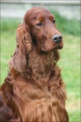 Irish Red Setter Thendara Satisfaction, known as Jagger, died from poisoning shortly after appearing at the world-famous Crufts dog show last week.