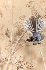 A grey fantail.
