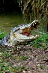 Trophy plans ... saltwater crocodile.