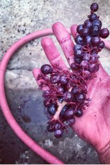 The red grapes used by Dormilona for some of its wines.