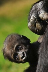 At risk … a baby gorilla.