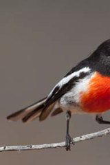 A red capped robin.