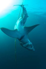 Mystery: It is not known why this shark was killed and tied up.