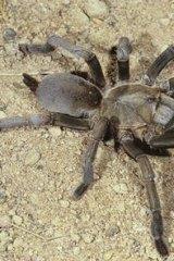 A Tarantula, Phlogius crassipes Tarantula