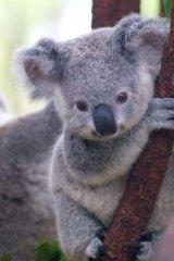 High priority: Koala.