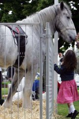Australia's tallest horse, Luscombe Nodram, otherwise know as Noddy.