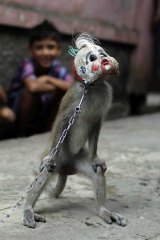"""Show time: A trained monkey wearing a mask during a """"topeng monyet"""" (masked monkey) show in east Jakarta."""