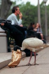 Tip Turkey: The white ibis.