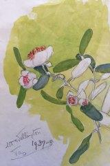 Olive Pink's 1937-38 painting of Eucrphyia lucida (Leatherwood) at Mount Wellington, Tasmania.