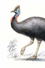 Southern cassowary. (Illustration by Joe Benke.)
