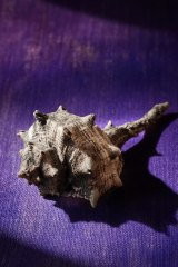 Tyrian purple comes from a predatory sea snail.