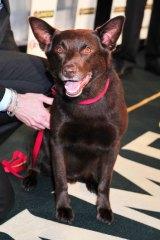 Koko, star of Red Dog at the IF Awards 16th November, 2011.