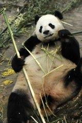 Giant panda Wang Wang kicks back at the Bifengxia Giant Panda Breeding Centre in south-west China before his tranfer to Australia.