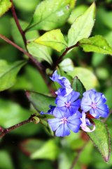 The pretty blue flowers of Ceratostigma plumbaginoides were found by Robert Fortune growing on the city wall of Shanghai in mid-1844.