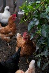 Chickens roam The Grounds of Alexandria.