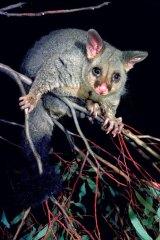 A brushtail possum.