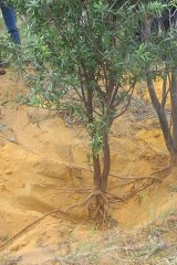 Illegal 'wooden gold' a threat to the sandalwood industry