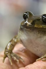 One of the egg donors, a great barred frog.
