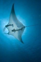 Manta rays near Moreton Island.