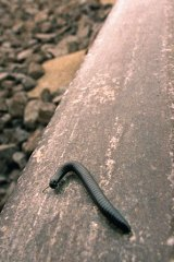 Millipede crawls along the train tracks.