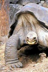 'Lonesome George' in better days.