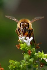 Under threat ... toxic soils could be killing bees.
