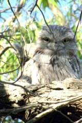 A tawny frogmouth fixes the camera with his stare.
