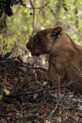A female lion with a Roan antelope kill in Pendjari National Park.