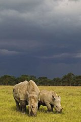 White Rhinoceros with a calf at Lake Nakuru national Park in Kenya.