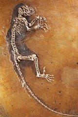 The immaculately preserved skeleton of Ida, a 47 million-year-old primate found in Germany.