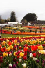 The annual Tesselaar Tulip festival is back for its 60th event.