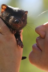 Fancy a kiss? Tasmanian devil joey Smooch, one of 28 recently born at Healesville Sanctuary, is helping to save her species.